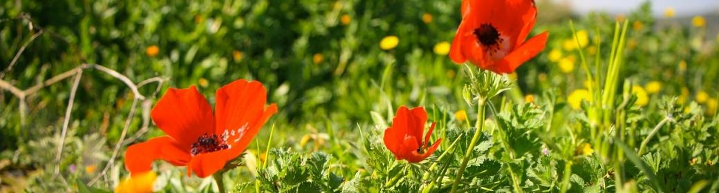 poppy-621410_1280